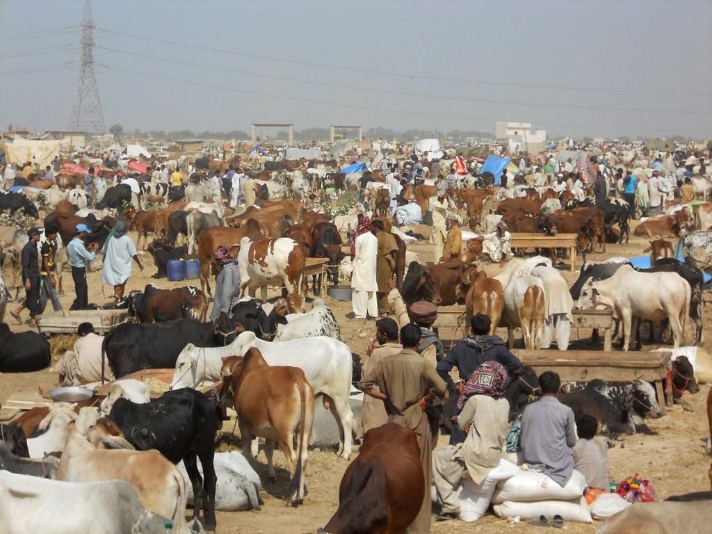 Sohrab Goth Gai Mandi, Cattle Market, Karachi, Pakistan. | Flickr