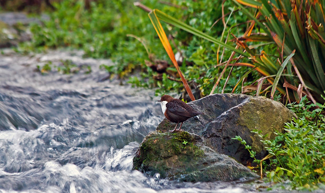 Dipper in the River Cam