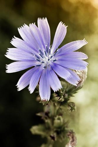 morning blue summer ontario canada flower macro sunrise leaf petals 2015