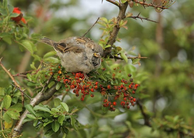 House Sparrow DSC_7329