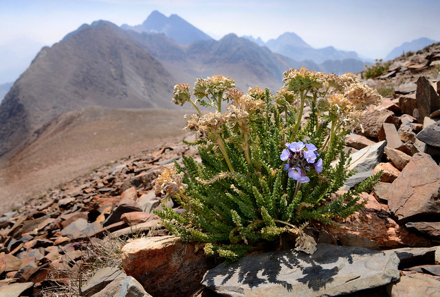 Sky Pilot flower (Polemonium eximium) over McGee Pass, Sierra Nevada, California