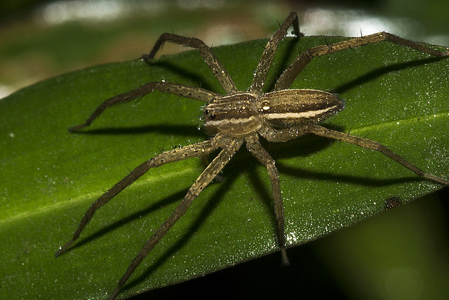 Aranha (Psauridae) d