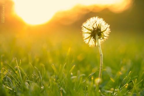 grass bokeh dandelion 365 project365 365project julianalauletta