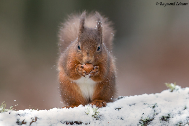 Red Squirrel - Cracked it !