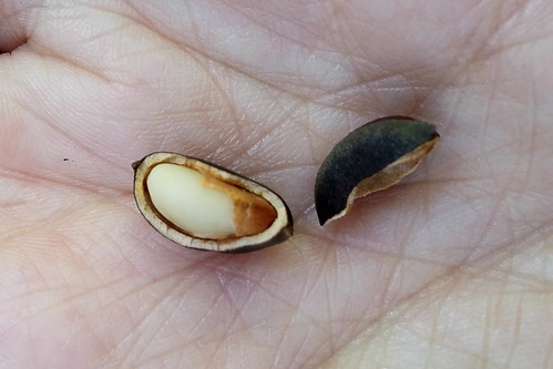 pinaceae pinus armandii chinese white pine nuts china yunnan