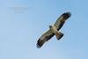 Aigle botté - Hieraaetus pennatus (Domaine Des Oiseaux, Ariège) 13 Avr 2014 #1 by ÇhяḯṧtÖρнε