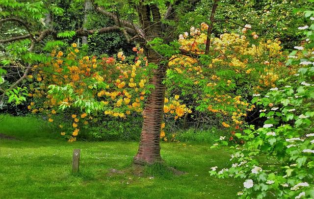 Tibetan Cherry Tree..Prunus Serrula