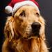santa's little helper by Brady the Golden Retriever