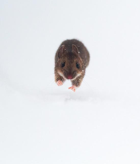 Yellow-necked Mouse - Apodemus flavicollis