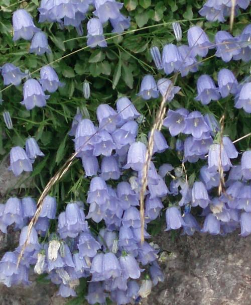 Campanula cochleariifolia 6611618525_21d3eb54b6_o