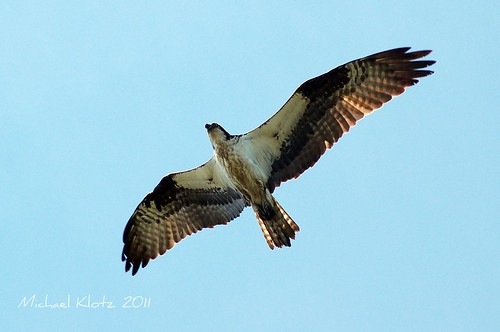 Osprey - Richmond, BC | by Michael W Klotz - The Bird Blogger.com