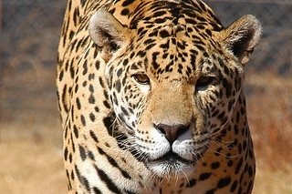 {Rhino & Lion Nature Reserve} Jaguar : 2 | by Crystian Cruz
