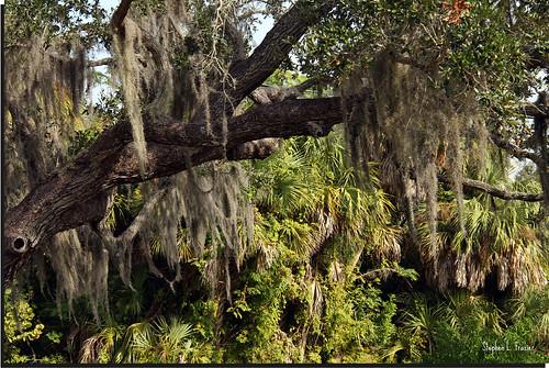trees usa tree beautiful landscape photography hawaii photo photographer unitedstates image branches picture australia photograph spanishmoss hanging bromeliad bromeliaceae airplant hang 220 graybeard angiosperm floridamoss canoneos60d longmoss