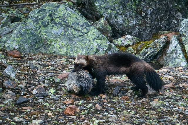 Wolverine Carrying Dead Marmot