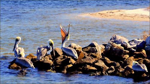 florida pelican panamacitybeach standrewsstatepark floridastateparks grandlagoon nikond3100 nikkor70300afsvrlens
