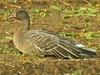 Pink-footed Goose, Shernborne (Norfolk), 5-Dec-11 by Dave Appleton