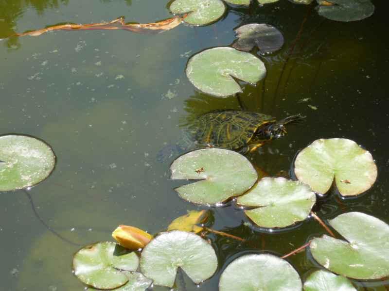 tortuga saliendo del agua