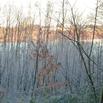 Young coppice covered by frost