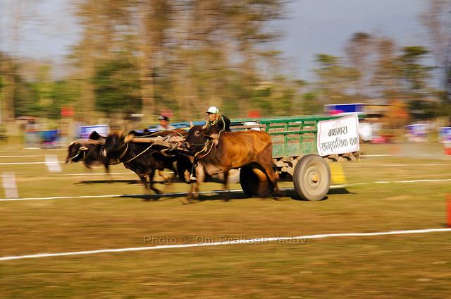 Ox cart race