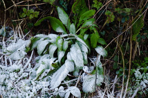 Frost-covered foxglove leaves