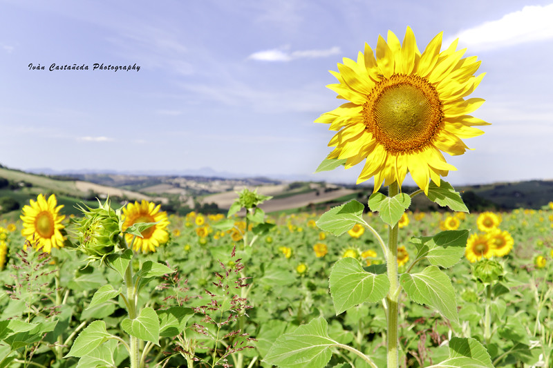 Standing tall Sunflower. - Paterno - Ancona - Italy