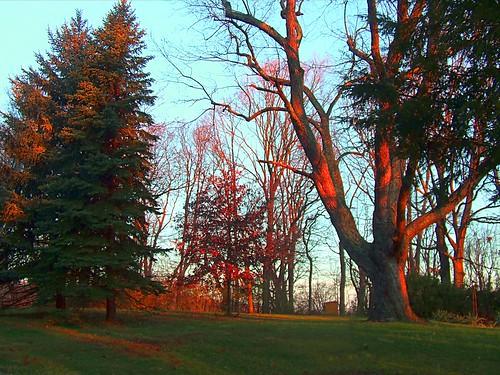 red tree nature pine sunrise bright