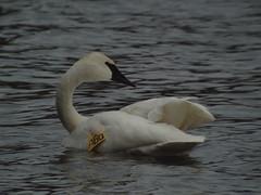 Trumpeter Swan, LaSalle Park, ON