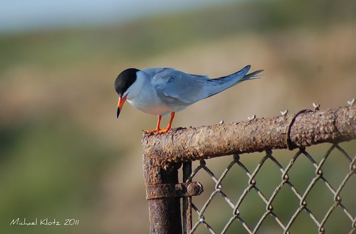 Forster's Tern - Huntington Beach, CA | by Michael W Klotz - The Bird Blogger.com