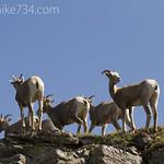 Bighorn Sheep ewes