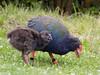 Takahe-Porphyrio mantelli [Rallidae] by Grant Reaburn