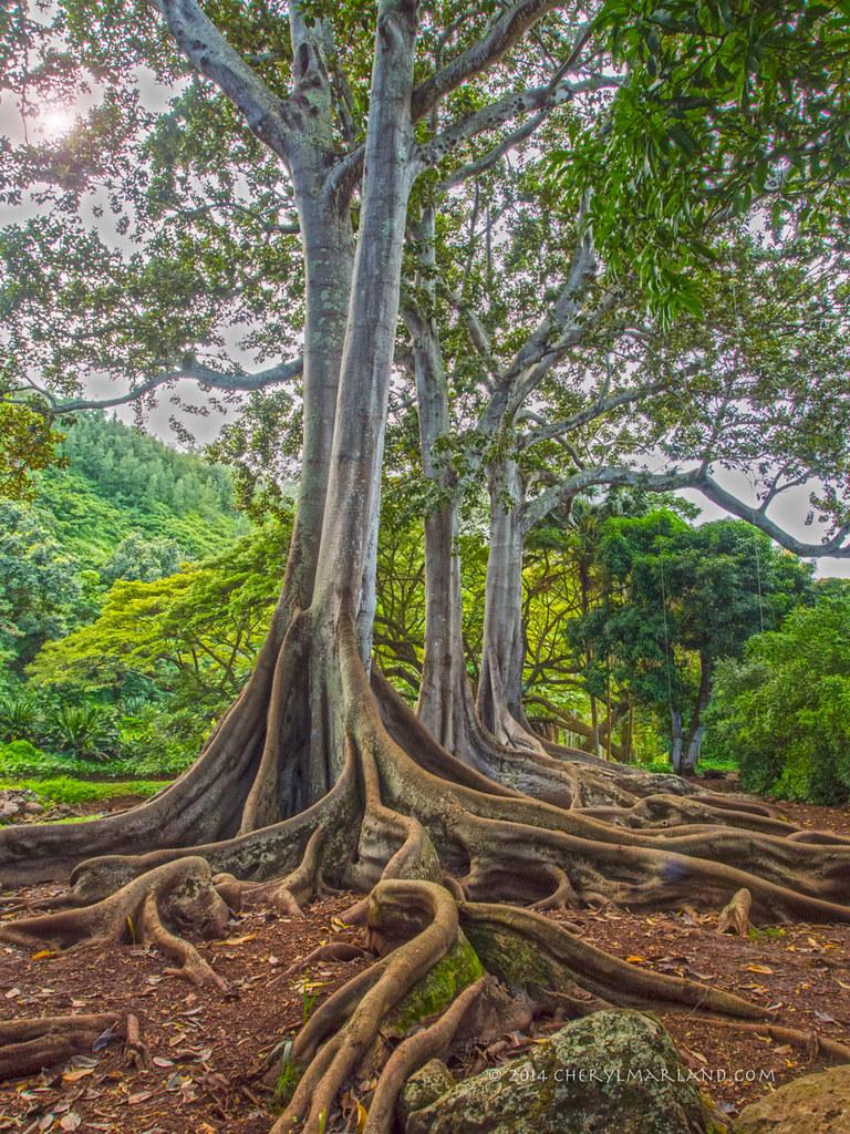 Fig Trees At Allerton Garden Kauai Jurassic Park Flickr