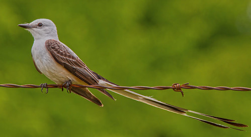 bird ave flycatcher scissortailedflycatcher tyrannusforficatus tirano tiranotijereta tiranotijeretarosado