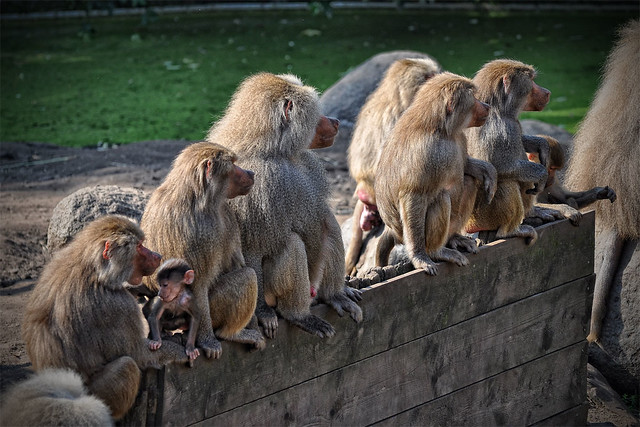 Baboons on a fence..