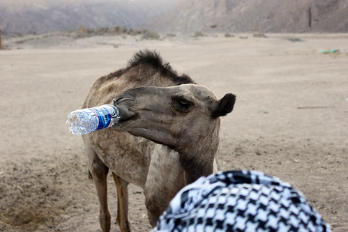 Camel Drinking Water in the Desert | by alexander_witt