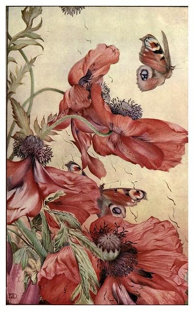 050-Amapolas-News of spring and other nature studies 1917- Ilustrado por Edward J. Detmold