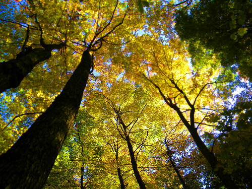 original autumn trees tree fall forest maple poetry vermont poem haiku sugar lookup foliage vt innerlight sugarwoods