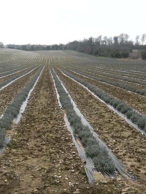 Lavender field Eynsford Circular