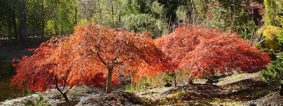 Acer Palmatum Dissectum Viridis Weeping Japanese Maple Flickr