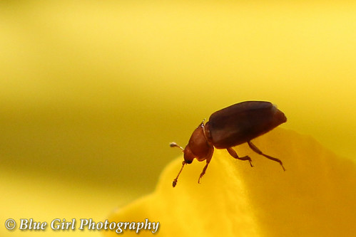 Tiny beetle in a daffodil | by suzypud