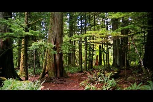 oldgrowthforest trees canada vancouverisland canoneosrebelk2 fujireala100 green letterbox film scanned scan britishcolumbia negative macmillanprovincialpark cathedralgrove douglasfir