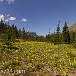 Meadow of Glacier Lilies