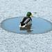 a circle of joy,Reifel Bird sanctuary,15Jan12 by Pervez 183A