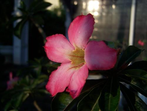 morning pink red flower nature beautiful sunrise kodak weekend jepang kamboja adenium z650 kambojajepang merahmuda
