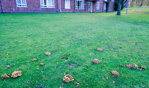 Sulfur tuft mushrooms on a lawn