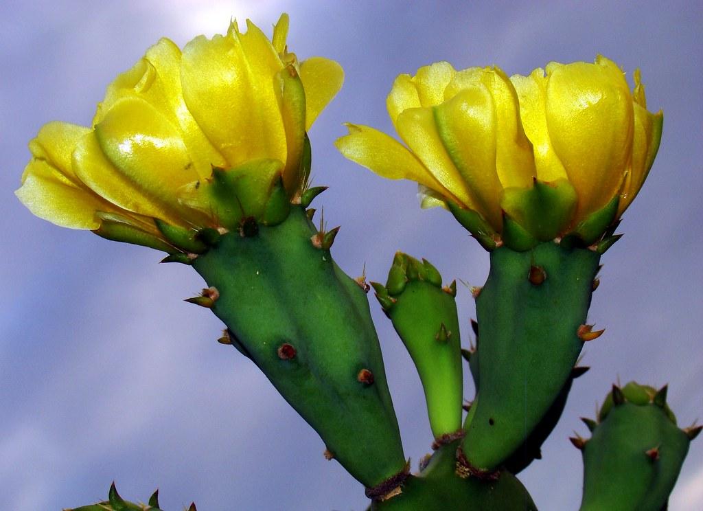Cactus: ERECT PRICKLY PEAR #2 (Bengali = ফনী মনসা
