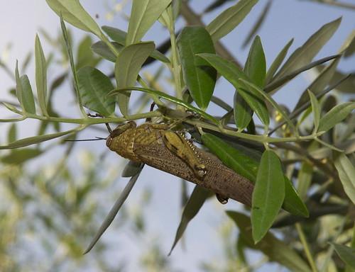 Locust in Italy | by deibel