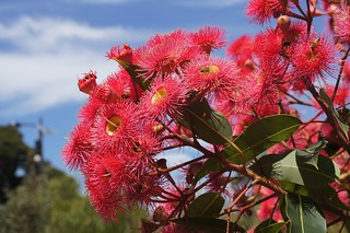 Red Flowering Gum (Corymbia ficifolia)   by Tatters ✾
