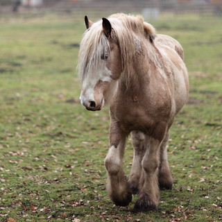 Pale Brown Horse