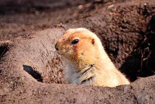 Prairie Dog of Ueno Zoo / 上野動物園のプレーリードッグ | by Dakiny