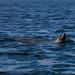Flickr photo 'Kalifornischer Seelöwe / California sea lion (Zalophus californianus), Sea of Cortez - Baja California, Mexico' by: anschieber | niadahoam.de.